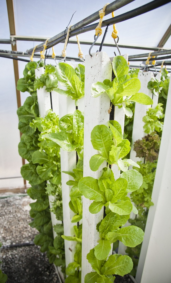 lettuce-in-vertical-towers
